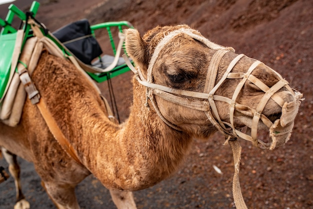 Dromedary equipped with a chair to walk tourists