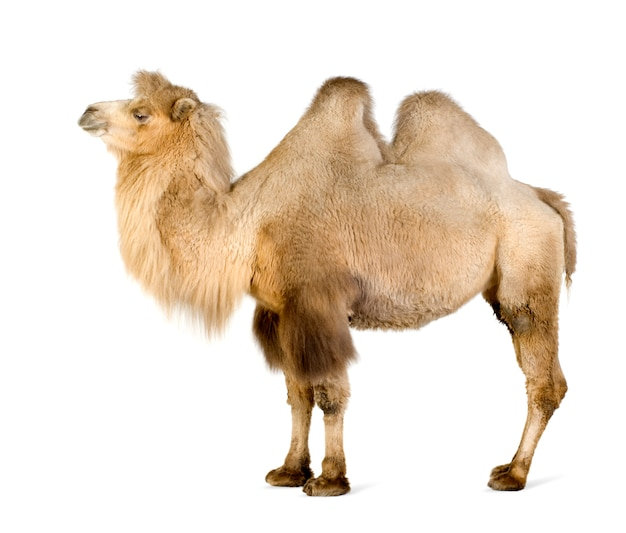 Dromedary in front on a white isolated