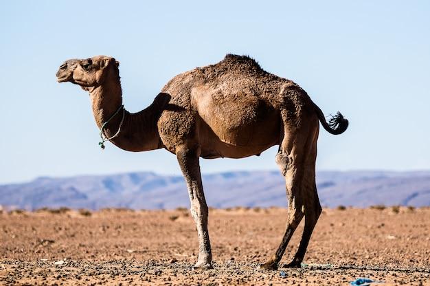 Дромадер отдыхает в пустыне
