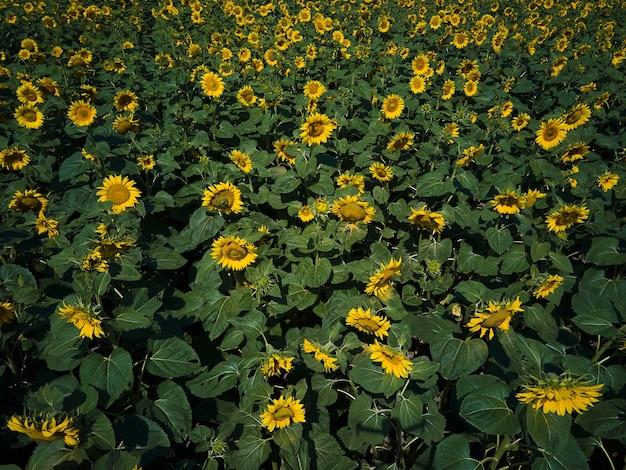 輝く黄色の光の中でひまわりの日当たりの良いフィールドのドローン空撮。鮮やかな黄色と満開のヒマワリ、天然油、農業