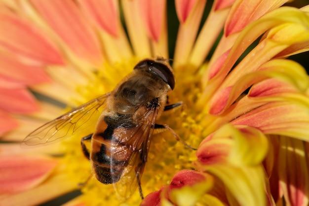 Пчела-трутень на желтом цветке собирает нектар и пыльцу, макросъемка крупным планом