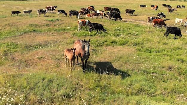 Дрон пролетает над коричневыми лошадьми и коровами на зеленом лугу и пасется на траве на сельскохозяйственных угодьях с высоты птичьего полета