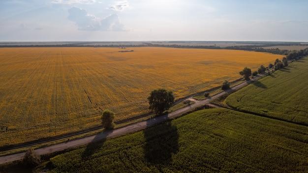 咲くひまわり畑、とうもろこし畑、その間の道のドローン写真。夕方の田舎の写真