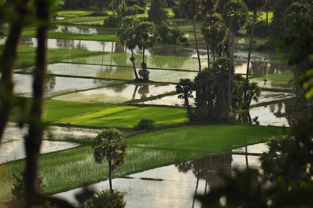 カンボジア、熱帯の緑の植生のドローンビュー。ご飯と田舎の東洋のプランテーション