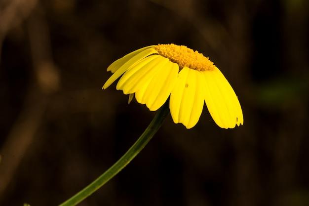 シュンギクglebioniscoronariaの垂れ下がった花びら