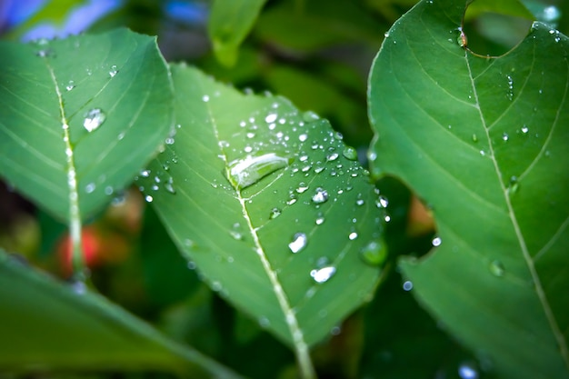 Drop of dew in morning on leaf, refreshing in the rainy season to the growth of plants.