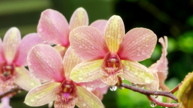 The drop of water on a pink orchid in a garden.
