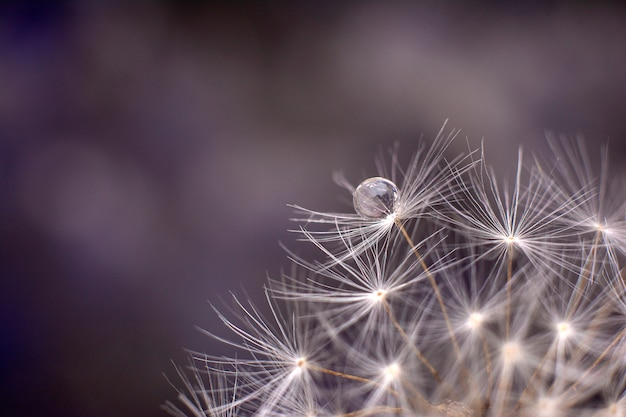 Drop of water on the seed of a dandelion flower