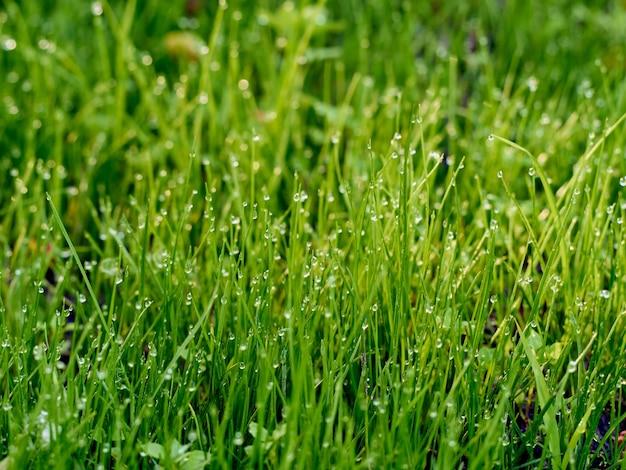 Drops of dew on the grass in defocus