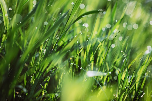 Drops of dew on the green grass on a sunny morning. natural floral texture background. selective focus, shallow depth of field. beautiful natural bokeh. purity and freshness of nature