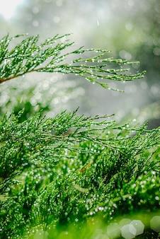 Drops of dew on juniper. green juniper branches in the summer sun.