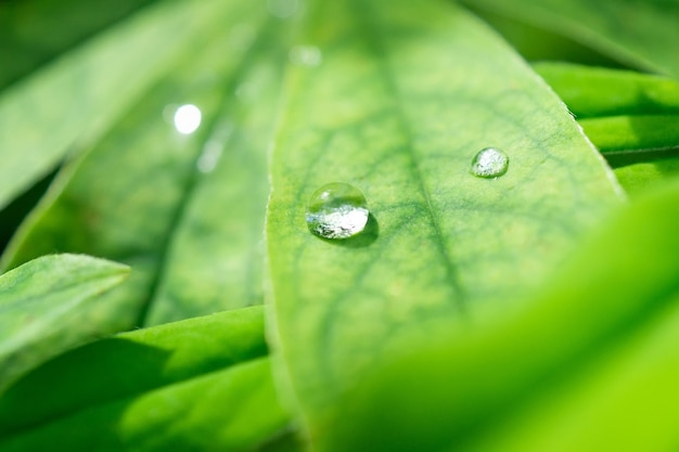 Drops on a green leaf. reflection in a drop. macro photo. large drops of dew. raindrops on green leaves. water drops.