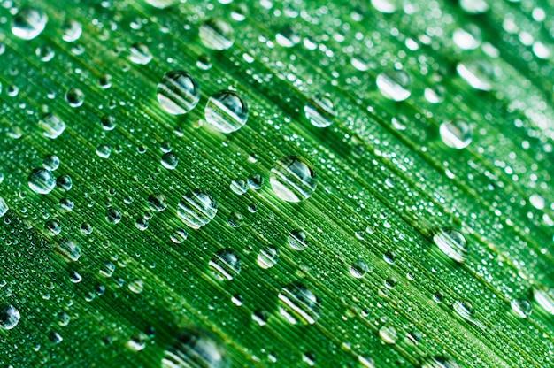 Капли росы на листе тростника болотного. фото крупным планом, малая глубина резкости.