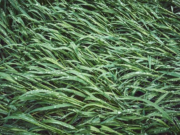 草の上に露の滴。