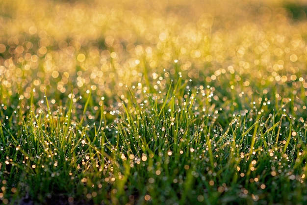 Капли росы на зеленой траве на солнце