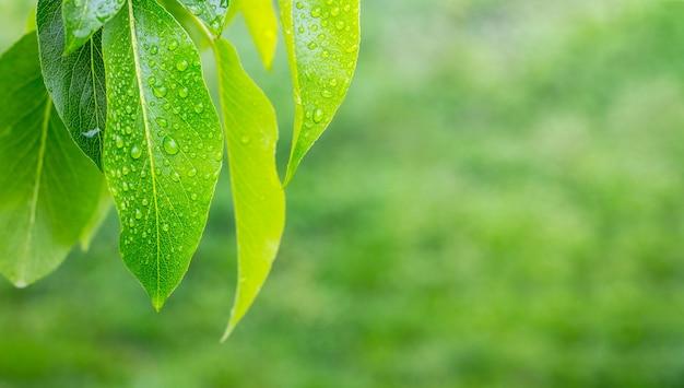 ナシの葉に露や雨の滴