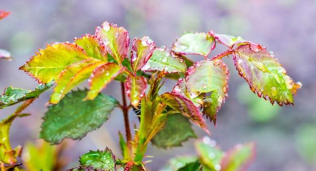 色とりどりのバラの葉に露や雨のしずくがきらめきます