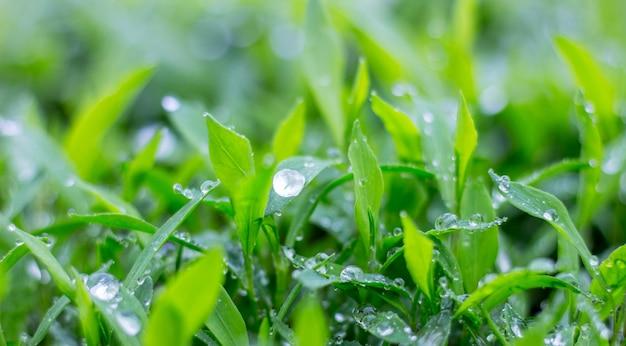 緑の草の上に露や雨の滴がきらめきます