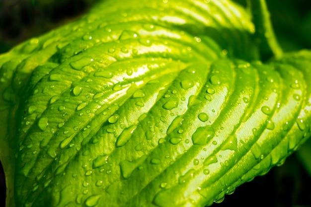 ホスタの緑の葉に雨のしずく
