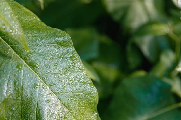 大きな緑の葉に水滴