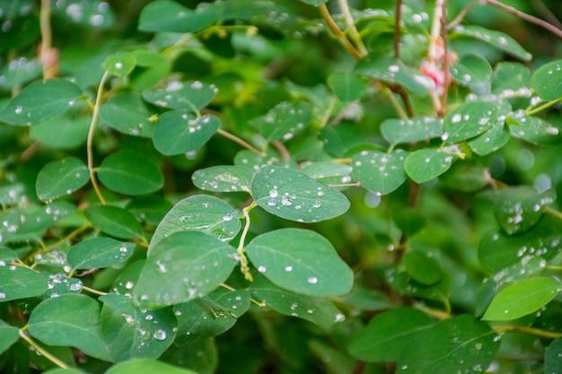 雨の後の木の葉に水滴。アカデミーのフォミンにちなんで名付けられた大学植物園。