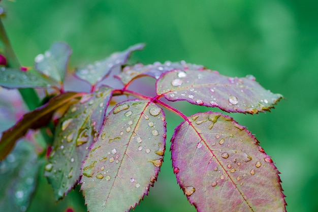 Drops of rain on the leaves of a rose bush. rainy autumn weather