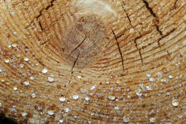 Drops of resin on the cut pine logs