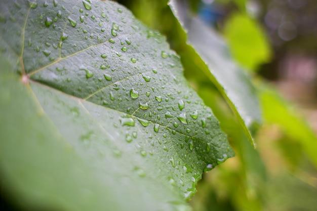 Drops of summer rain on a large green leaf