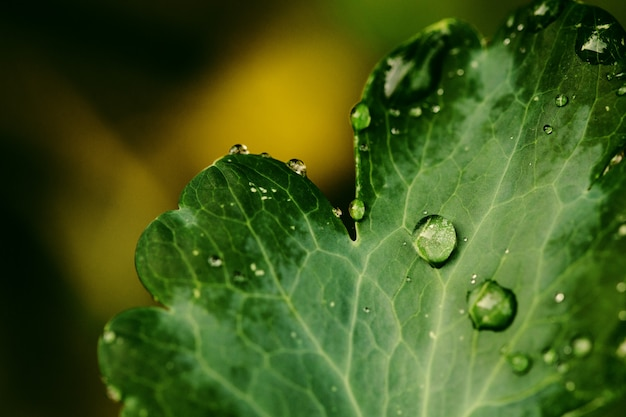 Drops of transparent rain water on a green leaf close up.