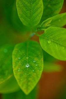 Drops of transparent rain water on a green leaf macro