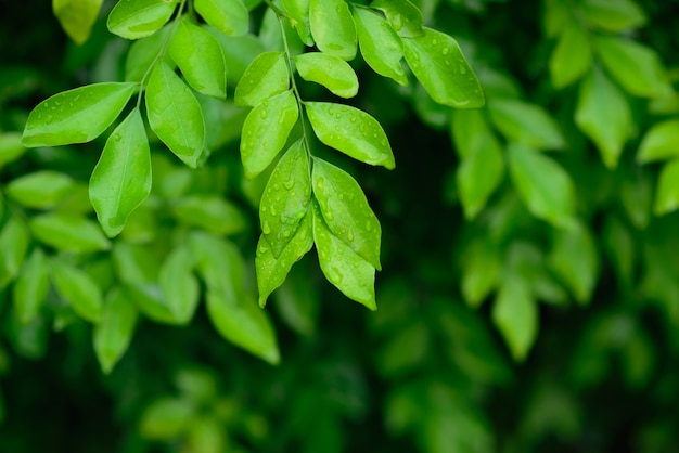 Drops of water on leaves after rain with green leaf on blurred greenery background.