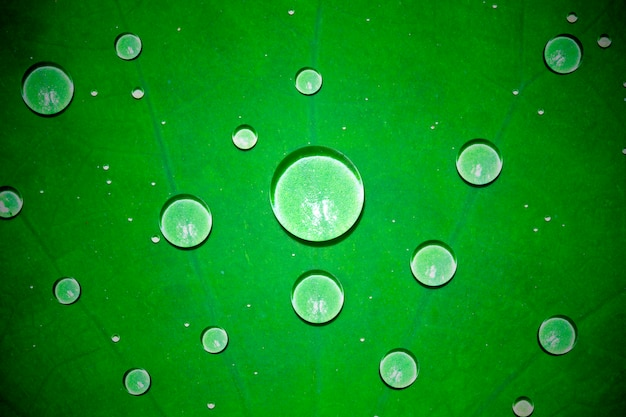 Drops of water on a lotus leaf is green in nature