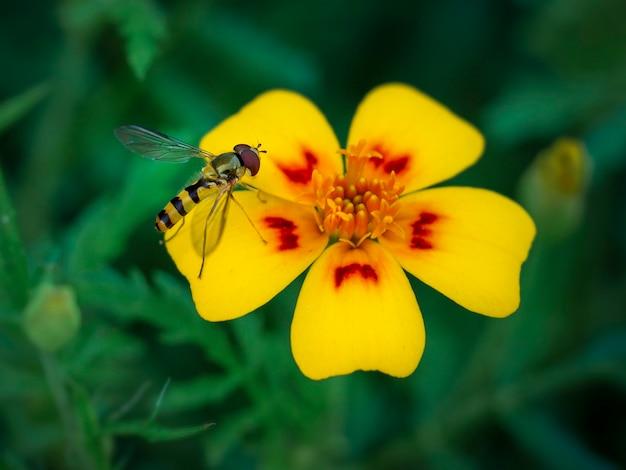 금잔화 꽃을 수분하는 초파리 diptera 꽃등에과 곤충