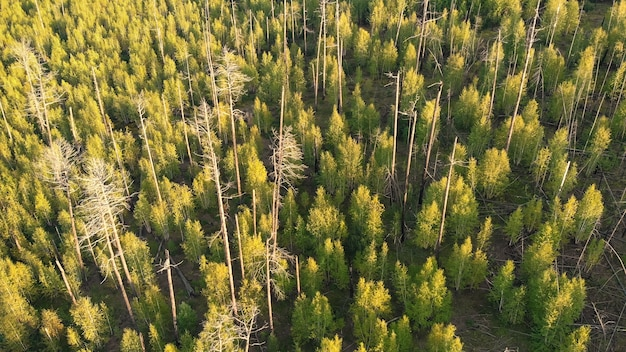 Сухие и сгоревшие стволы деревьев в лесу сверху
