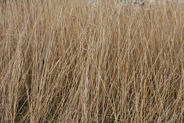 Spikelets와 마른 가을 잔디. 확대 . 자연 배경