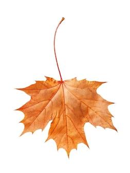 白い背景で隔離の黄色と赤の色合いの乾燥した秋のカエデの葉