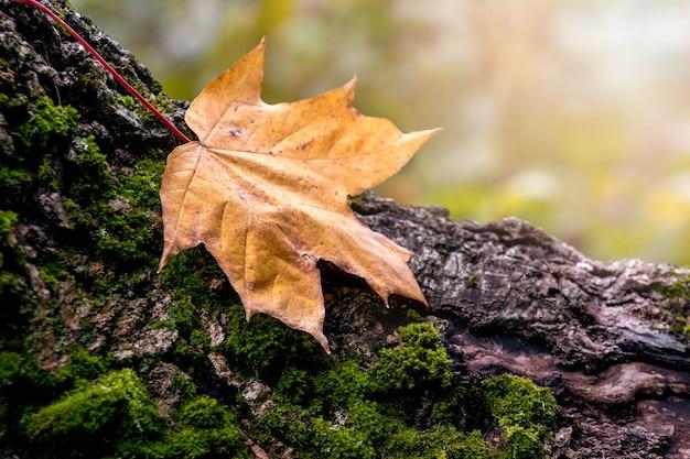 森の切り株に乾燥した秋のカエデの葉