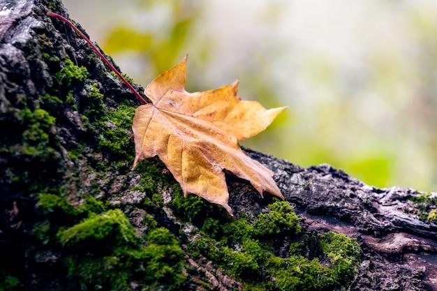 Сухой осенний кленовый лист на пне в лесу