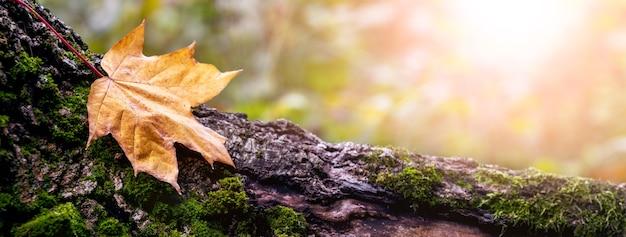 森の切り株の乾燥した秋のカエデの葉