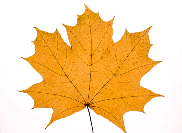 Dry autumn maple leaf on white background