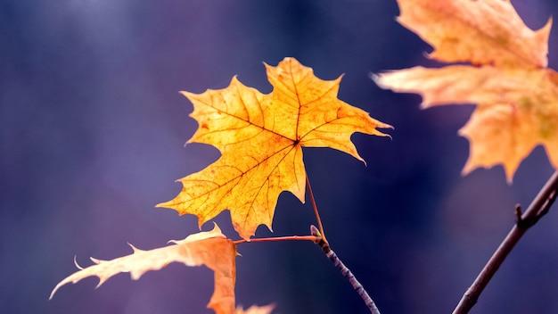 暗い青色の背景に森の中の乾燥した秋のカエデの葉