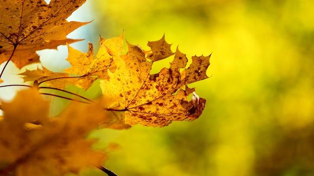 ぼやけた背景に乾燥した秋のカエデの葉