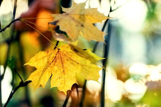 雑多なぼやけた背景に乾燥した秋のカエデの葉