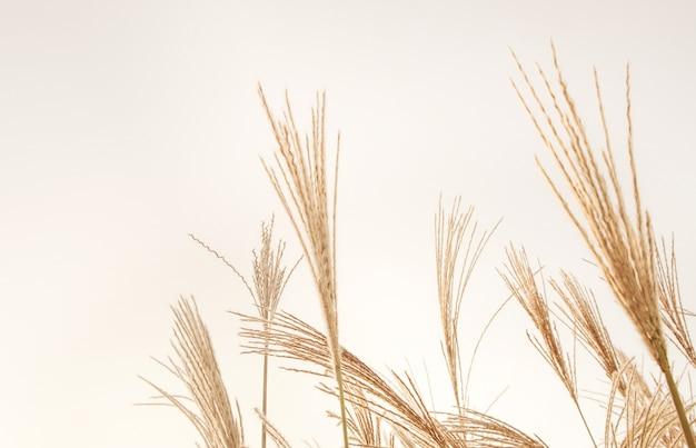 Dry beige reeds autumn pampas grass plants background