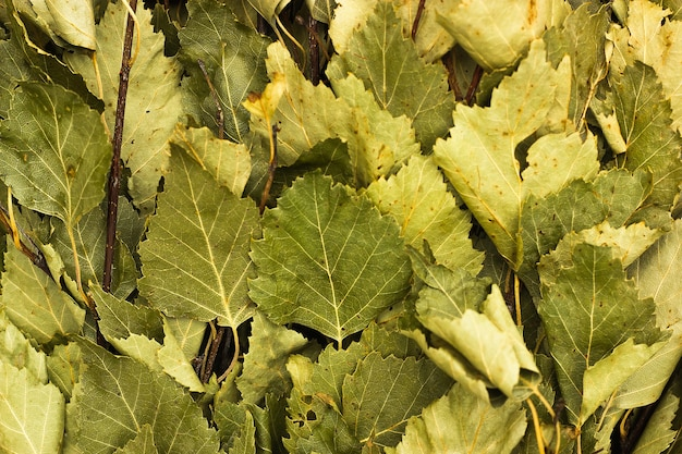마른 자작나무 잎 가로 배경