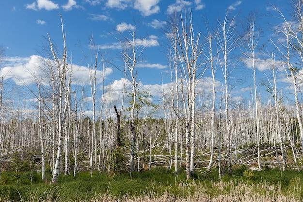 沼地の乾燥した白樺の木