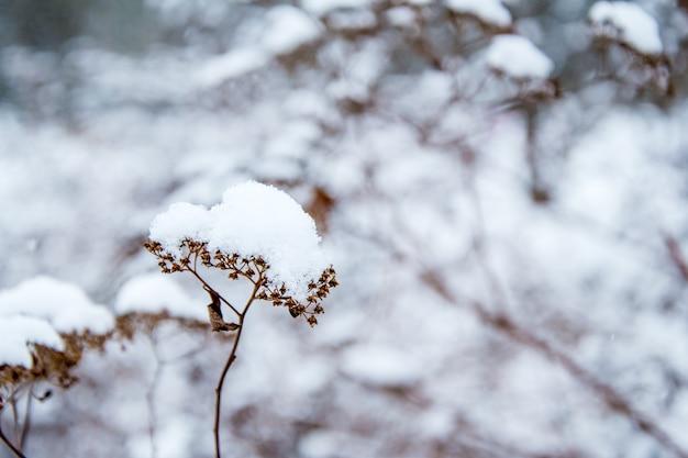 Соцветие сухого ветки куста под снежной шапкой.
