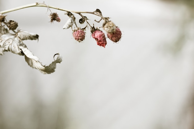 Dry branch of raspberries in the fall. autumn gray copyspace