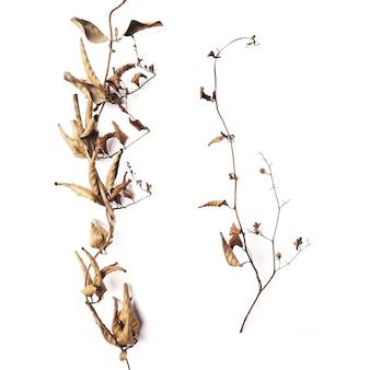 흰색 배경 위에 가을에 겉 식물의 갈색 잎이 있는 마른 가지