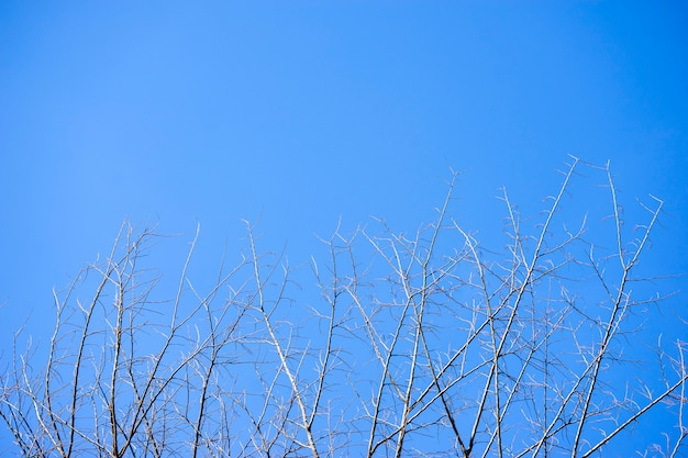 Dry branches with blue sky like death with light.
